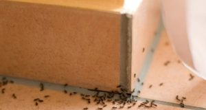 Common Questions About Odorous House Ants