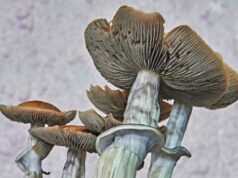 The Most Effective Method to Grow Psilocybin Mushrooms at Home